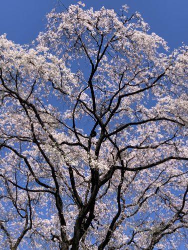 歩きながら桜鑑賞…!
