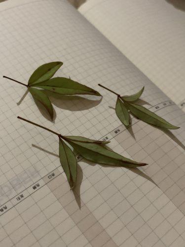 押し葉にすると息子が摘んだ南天の葉がグラスホッパーに見えてドキッとしました!