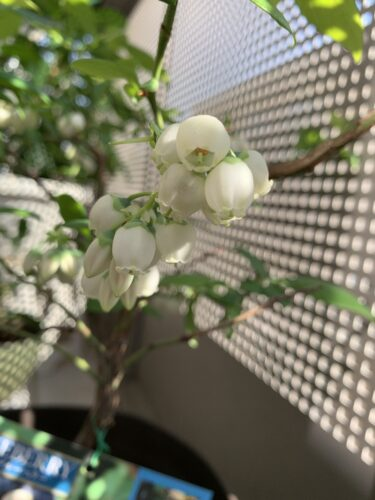 スズランみたいなブルーベリーの花