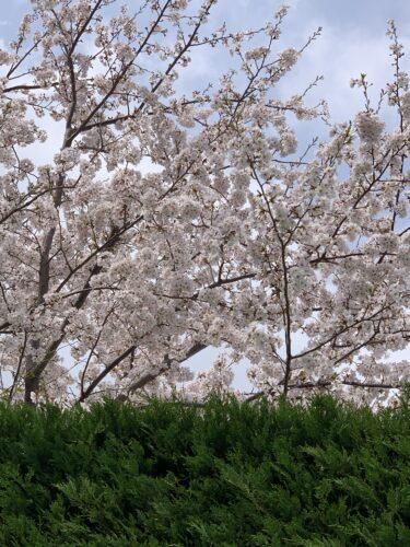 雨にも風にも負けず桜が美しい!